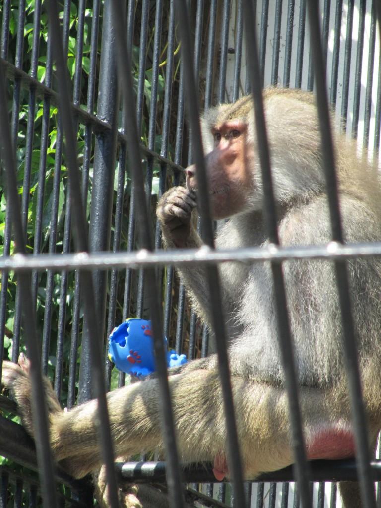 Opičky z Podzámecké zahrady v Kroměříži